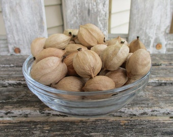 Shagbark Hickory Nuts for Baking and Snacking Half Pound Whole in Shell Northern Indiana Wild Natural