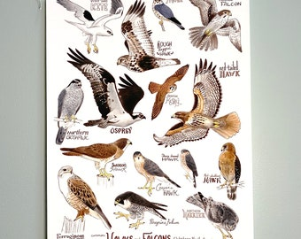 Hawks and Falcons of Western North America - Fine Print