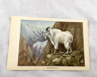 1922 Mountain Goat Illustration Encyclopedia Lithograph Print Book Page White Farm Animal Vintage To Frame