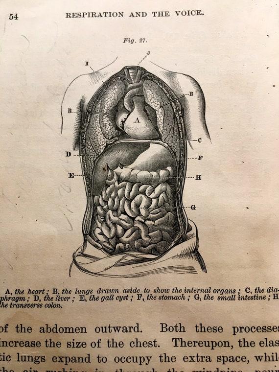 1884 Human Anatomy Print Antique Engraving Abdomen Internal Etsy