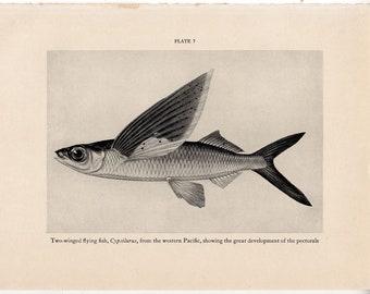 c. 1934 FLYING FISH print - original vintage print - vintage fish print - flying cod print - Exocoetidae print - Cypselurus print