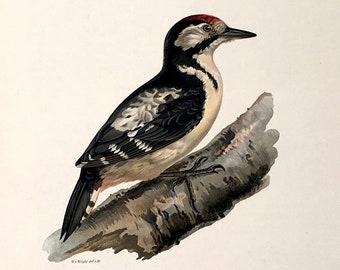 386a1dbd28a c. 1924 imprimer - original ancien oiseau imprimé - la magnifique couleur  du pic Lithographie - ornithologie suédois Wright - Pic épeiche