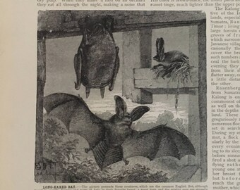 20th C.  VINTAGE BAT PRINT - original vintage engraving - print of bats for Halloween decor - long eared bats