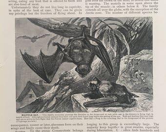 20th C. VINTAGE BAT PRINT - original vintage engraving - print of bats for Halloween decor - noctule bat