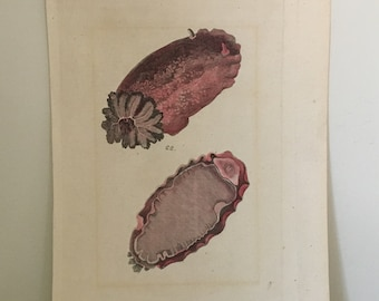 c. 1803 NUDIBRANCH PRINT - sea slug print - original antique sea life print hand colored engraving