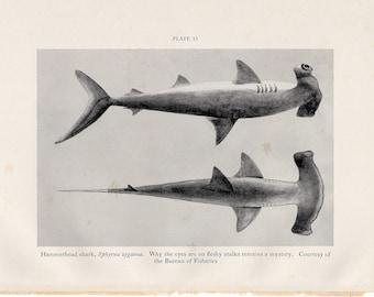 c. 1934 VINTAGE HAMMERHEAD SHARK print - original vintage print - vintage fish print - cephalofoil print - Smooth Hammerhead Shark