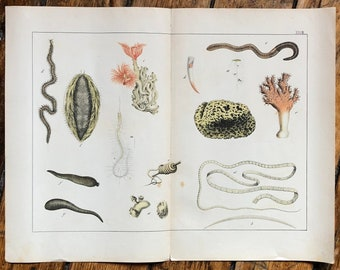 c. 1878 SEA ANIMALS - original antique sea life print - sea sponge, coral, sea worms, sea cucumber - marine life print
