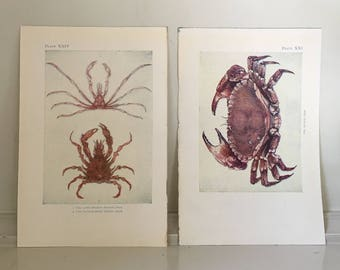 c. 1907 ANTIQUE CRAB PRINTS -  sea life lithographs - original antique prints - ocean beach house art - nautical art - set of 2