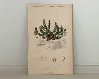 c. 1861 STAPELLA SUCCLENT PLANT print - original antique botanical print - flower print   by D'Orbigny - hand colored engraving