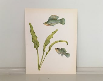 c. 1970 FISH PRINT - vintage fish print - aquarium fishes and plants - from paintings by Jiri Maly artist -