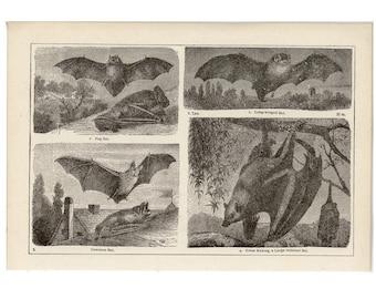 c. 1899 BATS print • original antique print • antique bat lithograph • cheiroptera • vampire bat • flying fox• Halloween decor