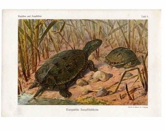 c. 1900 POND TURTLE PRINT - original antique reptile print - Testudinidae print