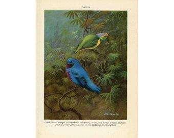 c. 1934 TROPICAL BIRD PRINT -  original vintage print - bird print - ornithology lithograph - costa rican tanager & cotinga