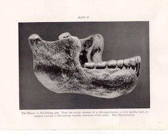 c. 1934 MAUER MANDIBLE aka HEIDELBERG jaw print • original vintage print • prehistoric man print • anatomy print • fossil skull print