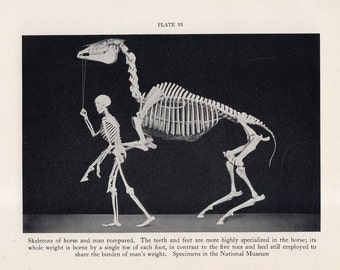 c. 1934 HORSE & MAN SKELETONS print -  lithograph - comparative anatomy - specimens from the Smithsonian Museum - original vintage print