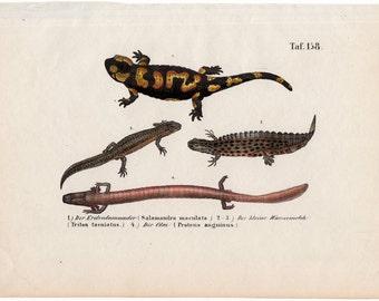 Caiman lizard | Etsy