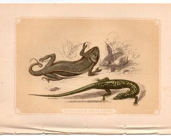 Anolis Cepedii Tapaye Lizard Original antique lizard print 1835 Reptiles engraving Marbled Lizard reptiles wall decor