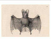 1824 BAT PRINT very RARE original antique lithograph nocturnal mammal Chiroptera