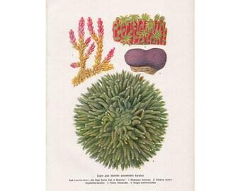 1900 CORAL ANTIQUE LITHOGRAPH original antique sea life ocean beach print