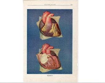 c 1940 HEART print • original vintage print • human anatomy • medical illustration • circulation print • heart muscle anatomy •