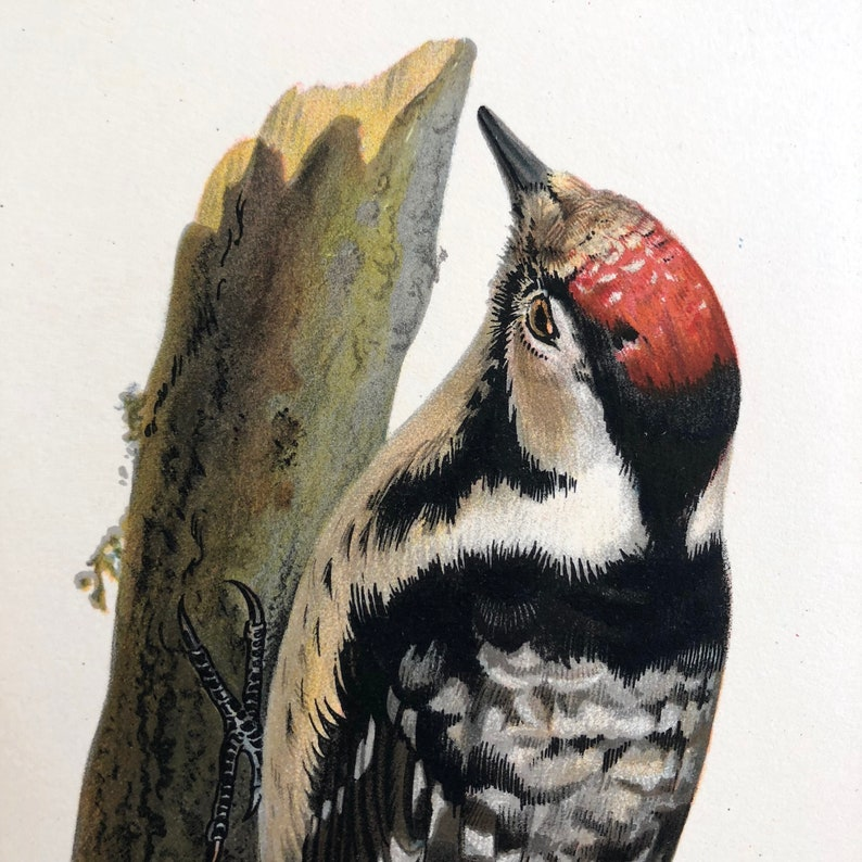 gorgeous color lithograph 1924 WOODPECKER print Lesser Spotted Woodpecker c Wright Swedish ornithology original antique bird print