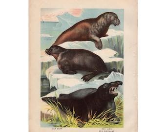 1880 SEA LIONS SEAL print original antique animal lithograph