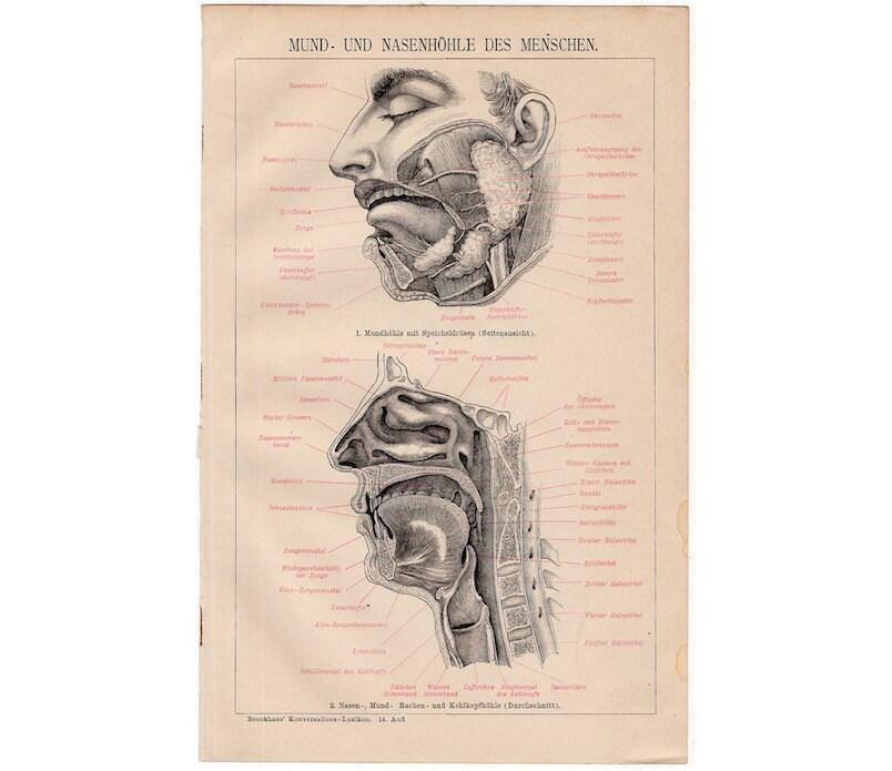 1894 Mund & Nasenhöhle Anatomie original antike menschliche   Etsy