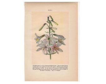 c. 1934  LILY FLOWER PRINT - vintage botanical print - plant print - old  print - vintage lithograph of flora - lily print
