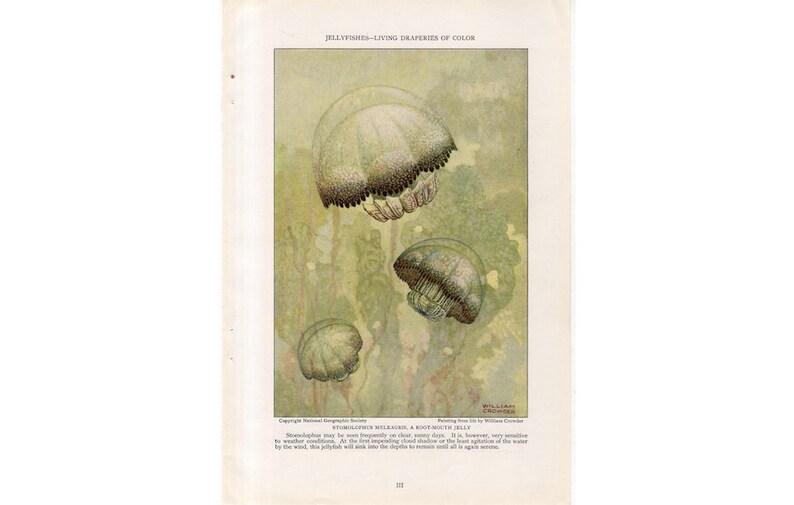 c. 1926 JELLYFISH PRINT  original vintage print  Moon Jelly image 0