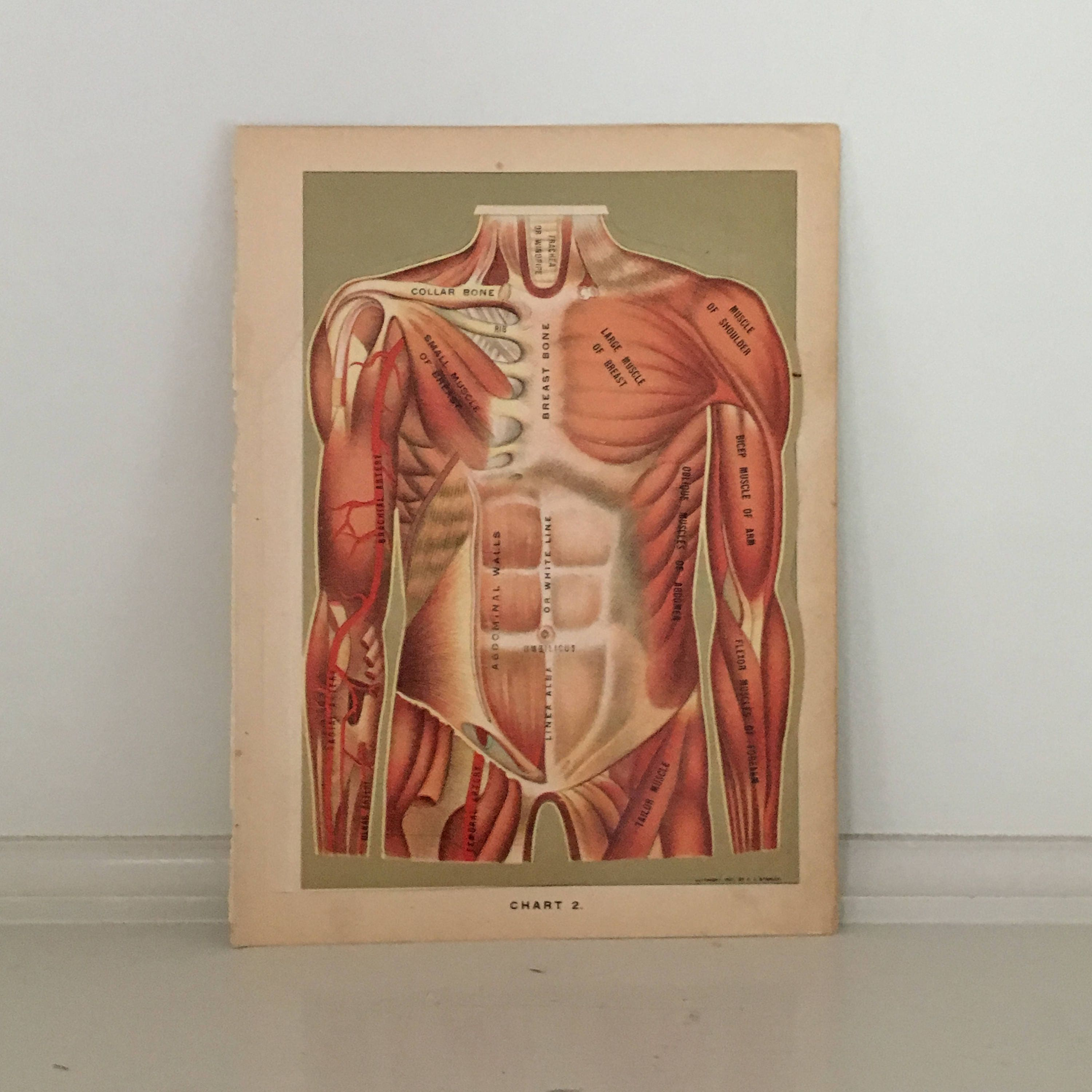 C 1903 Human Antique Anatomy Interactive Medical Lithograph Etsy