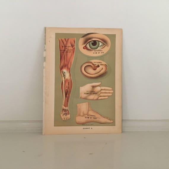 c. 1901 menschliche Anatomie drucken interaktive