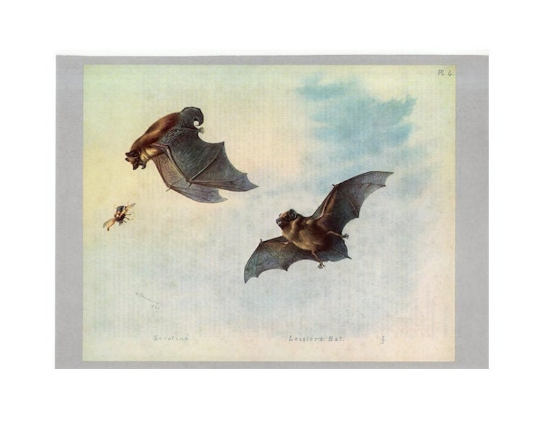 c. 1970's SEROTINE & LEISLER'S BATS print  original image 0