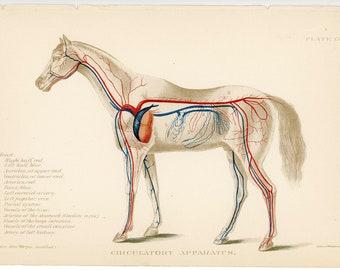c. 1907 HORSE ANATOMY print • CIRCULATION • original antique print • equine medicine print - horse print • veterinary medicine •