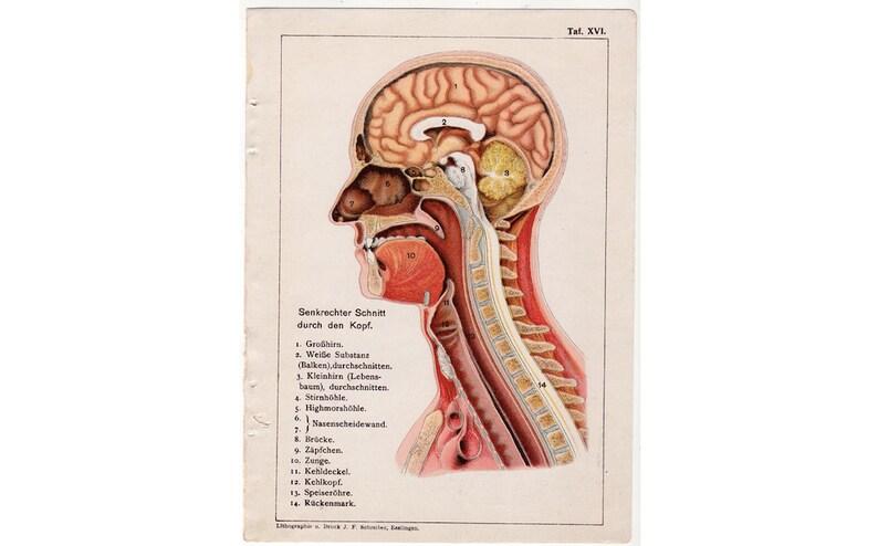 c. 1910 HUMAN HEAD print  original antique anatomy print  image 0