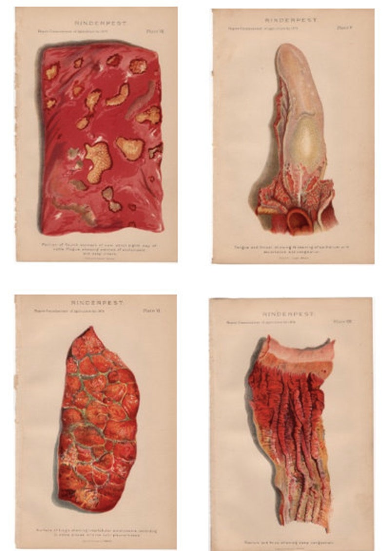 rinderpest tongue stomach lungs anus 1879 CATTLE BOVINE DISEASE print original antique agriculture farming lithograph dairy cow steer
