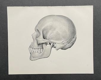 c. 1922 SKULL print • original antique print • human anatomy print • skeleton print • human head print • skeletal system print