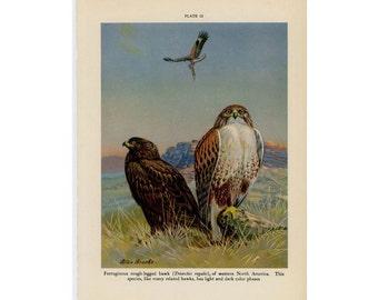 1934 HAWKS original vintage animal print - bird of prey