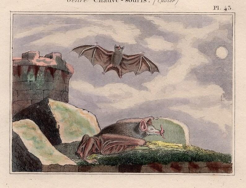 by Buffon Cuvier chauve souris pipistrelle vampire 1830 ANTIQUE BAT PRINT original antique hand colored engraving of flying bats c