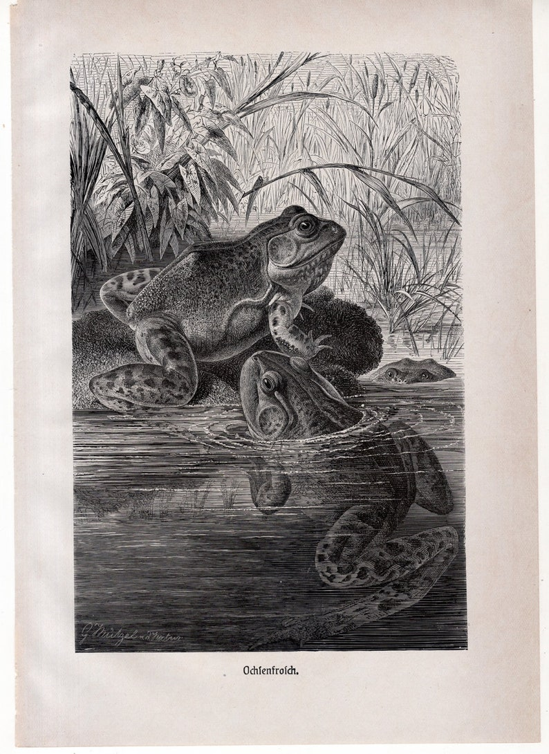 c 1900 ANTIQUE FROG print \u2022 original antique print \u2022 amphibian print \u2022 Brehms print \u2022 toad print \u2022 anura print \u2022 Ranidae print