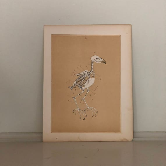 1880 Antik Vogel Skelett Anatomie drucken original antike