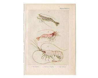 c. 1907 SHRIMP PRINT - original antique sea life print -  shrimp prawn print - small crustacean lithograph