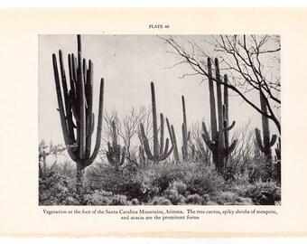 c. 1934 TREE CACTUS print • vintage botanical print • plant print • cacti print • Santa Catalina Mts. Arizona • mesquite & acacia trees