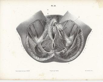 c. 1860 HUMAN ANATOMY print • original antique print • medical illustration • muscular system print • female reproduction • pelvic view