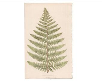 1862 FERN LEAF PLANT print original antique botanical lithograph - aspidium
