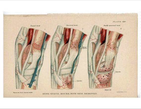 c. 1907 Pferd Pferd Anatomie drucken antike medizinische | Etsy