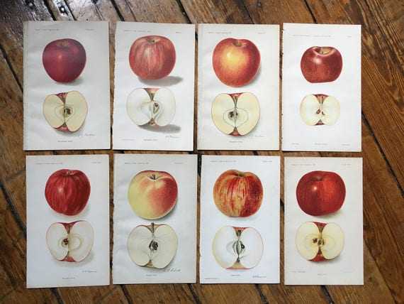 antique botanical print 1908 APPLE PRINT antique fruit print c williams apples original antique lithograph