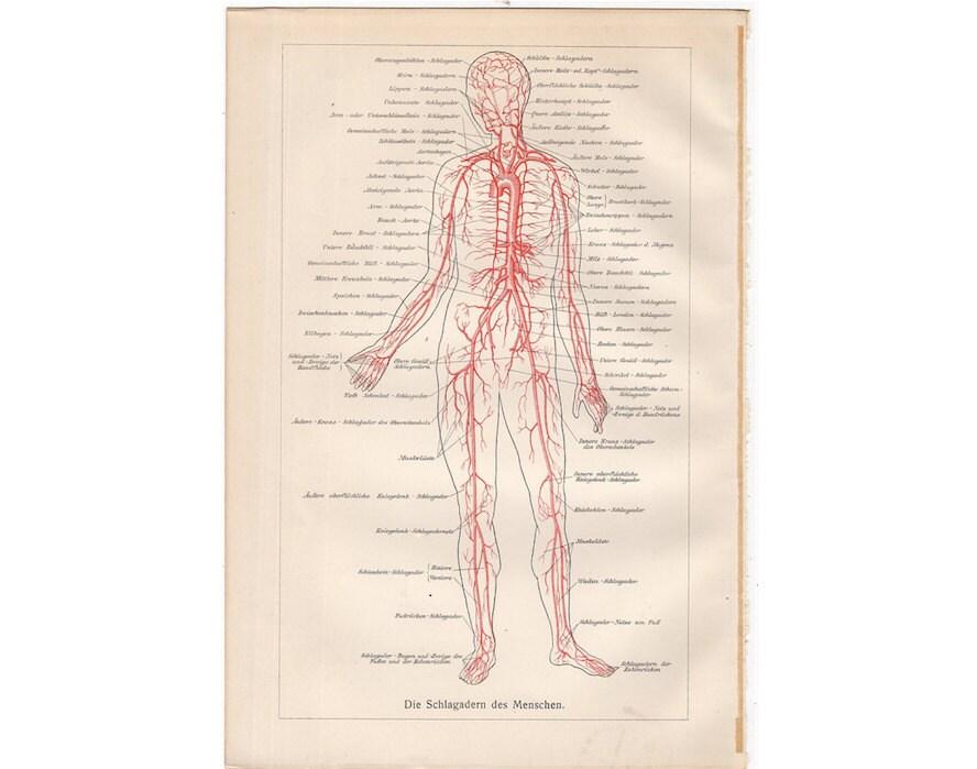 1894 menschlichen Blut-Kreislauf original antike medizinische | Etsy