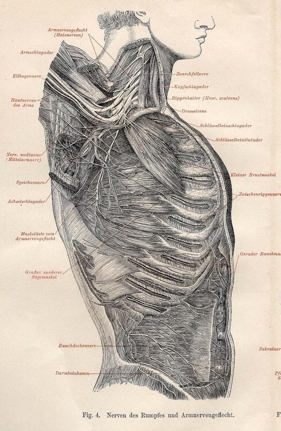 1894 NERVOUS SYSTEM print original antique anatomy