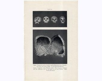 c. 1934 PREHISTORIC SKULLS print • original vintage print • prehistoric man print • anatomy print • fossil skulls of Neanderthal, Kafir...