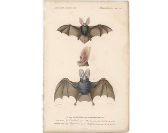 c. 1861 BATS print • original antique print •  flying fox • D'Orbigny and colored engraving • vampire bat • Halloween decor